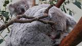 Αυστραλία: Πρόγραμμα προστασίας των κοάλα