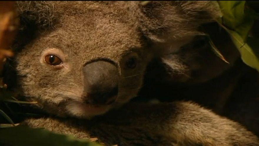 Millionenschweres Programm soll Koalas in Australien retten