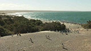 مليون بطريق يجتمعون في بونتا تومبو جنوب الأرجنتين
