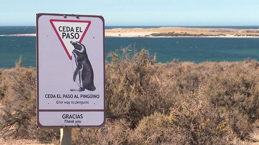O paraíso dos pinguins-de-magalhães