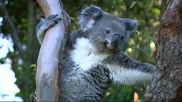 Folyamatosan csökken a koalák száma
