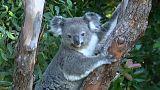 تخصيص آلاف الهكتارات لحماية الكوالا من الانقراض في أستراليا