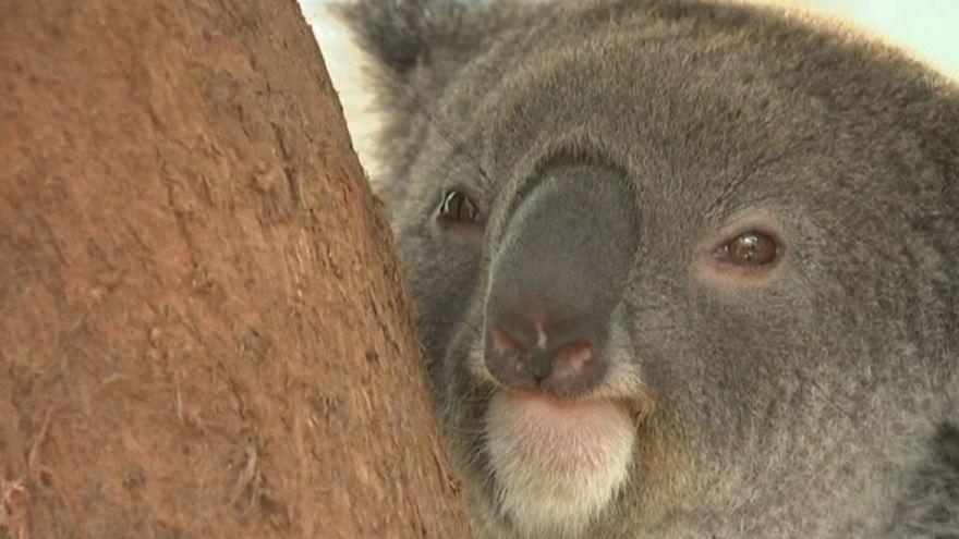 Avustralya'da koala hastanesi