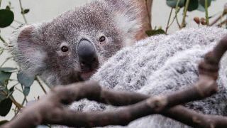 Un sanctuaire pour protéger les koalas en Australie