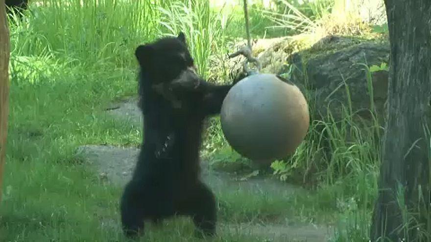 Valóságos sztár a berlini medvebocs
