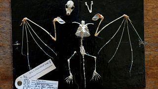 33 millió éves denevér csontvázra bukkantak