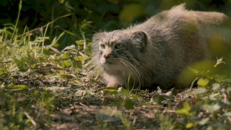 """حديقة تشيستر ببريطانيا تتعزز بقطط """"بالاس"""" النادرة"""