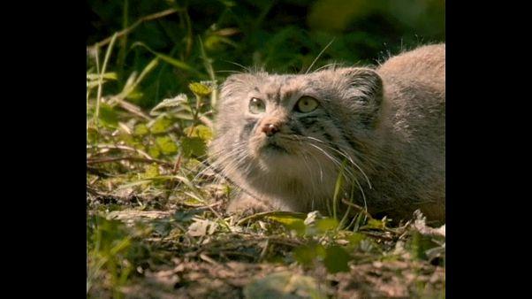 Rare Pallas cats debut at Chester Zoo