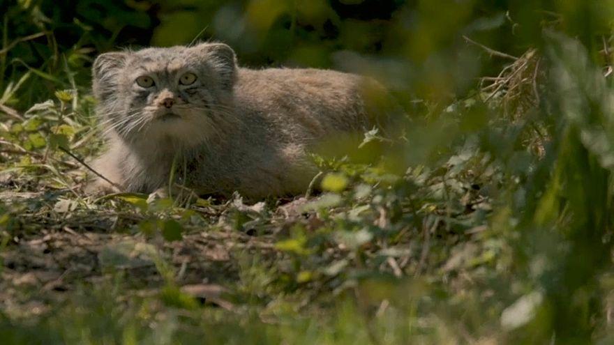 Estes quatro gatos selvagens são as novas estrelas do zoo de Chester