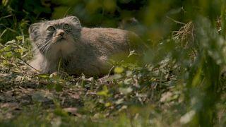 Nesli tükenen Pallas kedisi İngiltere'de
