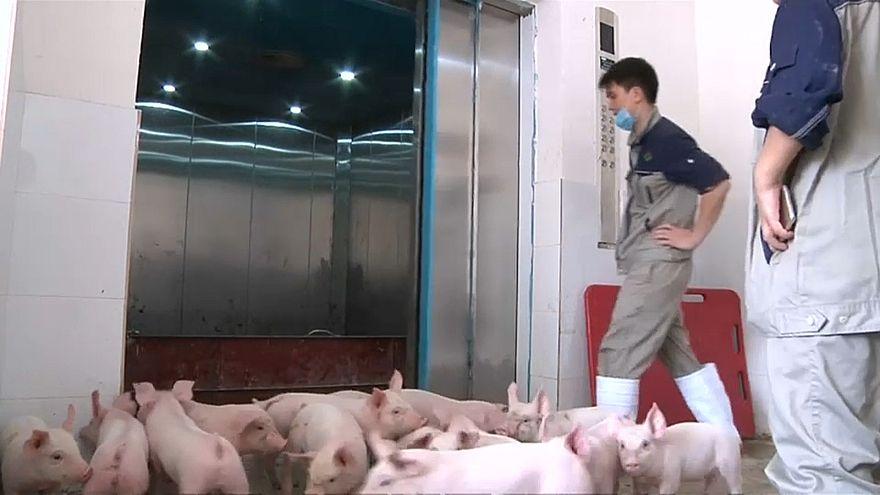شاهد: فنادق للخنازير في الصين