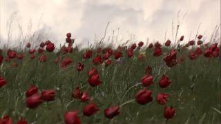 Wo die wilden Tulpen blühen