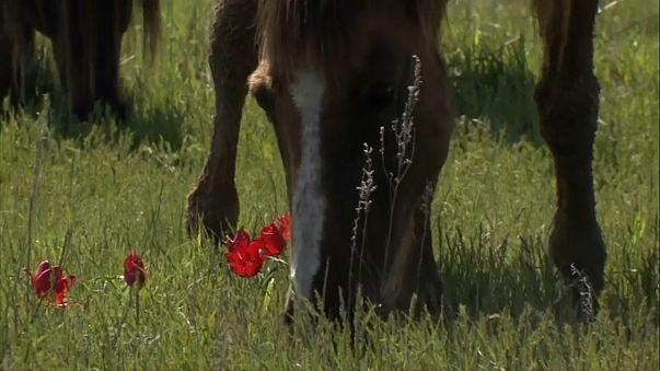 Тюльпаны и мустанги донских степей