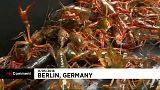 """Berlin trouve la parade aux écrevisses """"envahisseuses"""""""