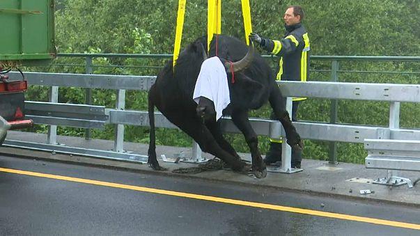 Germania: bufali invadono l'autostrada