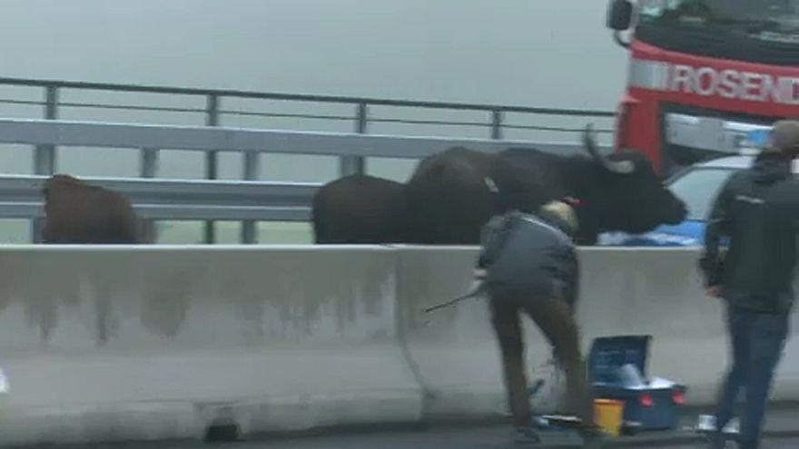 Kergetőzés vízibivalyokkal egy autópályán