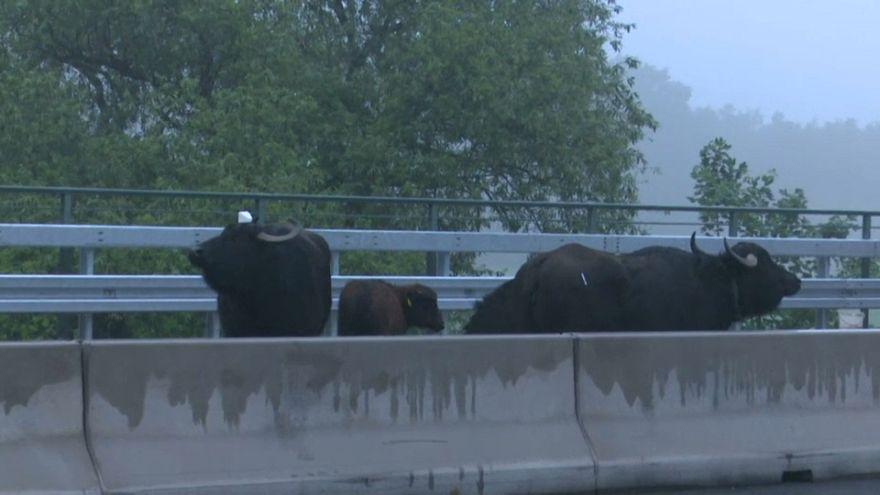 Les buffles bloquent l'autoroute