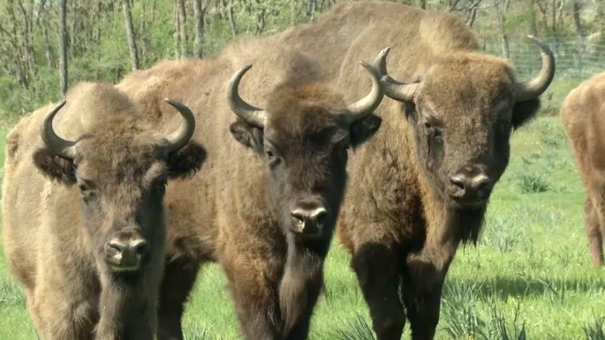 Llegan a España siete bisontes polacos