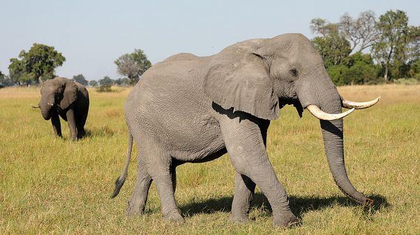 A pair of male elephants in the Okavango Delta, Botswana