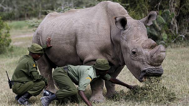 Pregnant rhino sparks hope for subspecies
