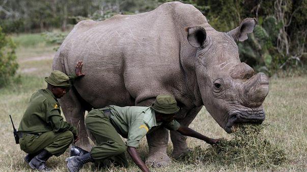 Kann die schwangere Victoria die weißen Nashörner retten?