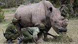 أنثى وحيد قرن حامل تبعث الأمل في حماية سلالة من الانقراض