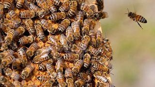 شاهد: مملكة النحل فوق سطح كاتدرائية برلين