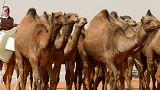 شاهد: مسحوق لحليب الأطفال من الإبل في الإمارات