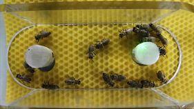 """Täuschend echt ist anders: Wissenschaftler entwickeln """"Roboterbiene"""""""