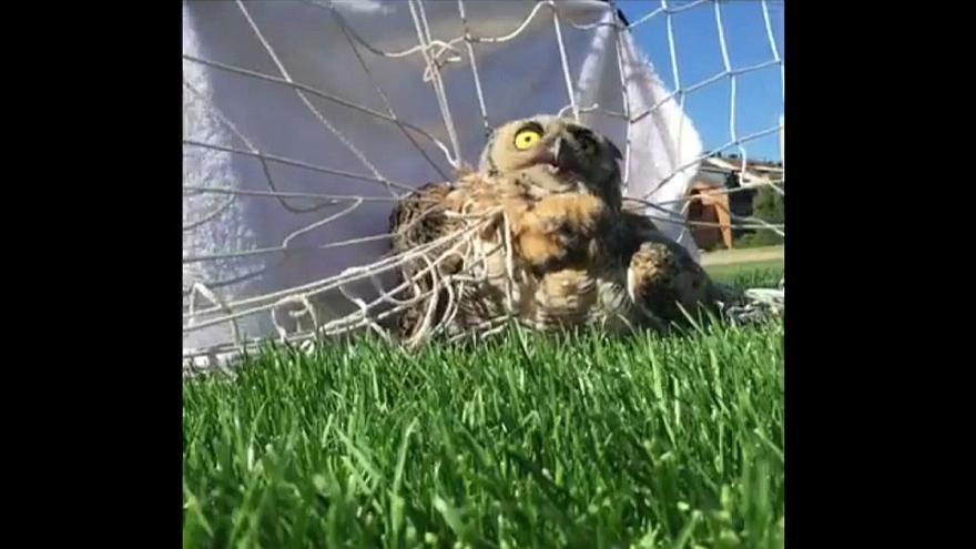 Owl freed from football net