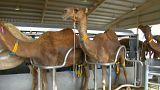 تولید شیر شتر صنعتی با فرمول ویژه نوزادان در امارات