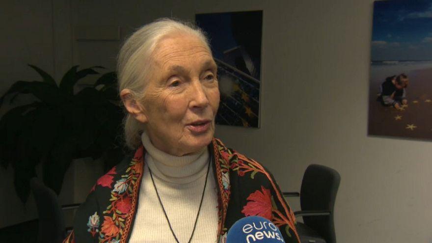 Jane Goodall: An die Konsequenzen unserer Entscheidungen zu denken wird die Welt verbessern