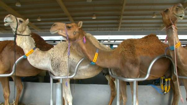 Kamelmilch als Babynahrung?