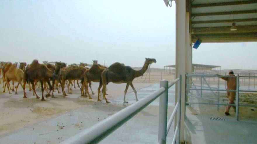 Верблюжье молоко - детям