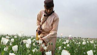 Iszonyatos mértékben nő a mákföldek területe Afganisztánban