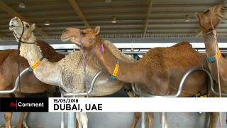 Emirats arabes unis : bientôt du lait de chamelle dans les biberons?