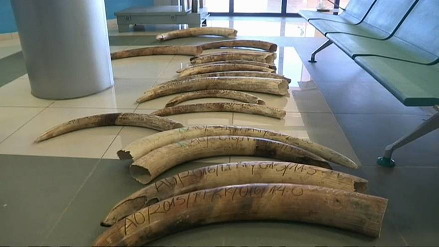 Ivory elephant tusks recovered from poachers