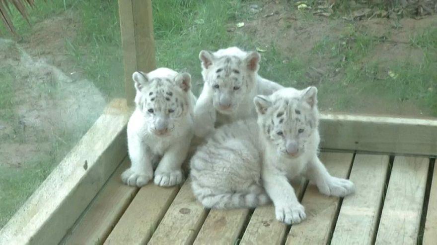 Белые, пушистые, редкие...