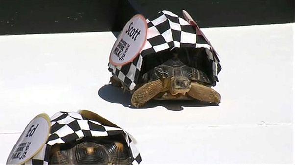 Черепахи, на старт!