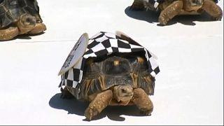 Tortoises race in the Zoopolis 500 'sprint'