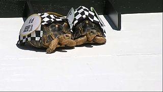 Le tartarughe scaldano i motori