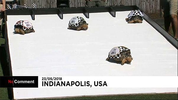 Etats-Unis : des tortues sur la ligne de départ à Indianapolis