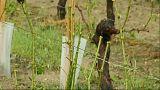 El granizo destroza miles de hectáreas de viñedos en Francia