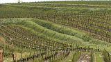 Неурожайный год для виноделов Бордо