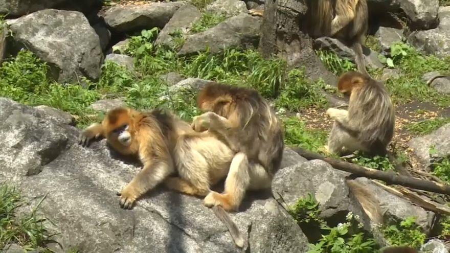 Kalkık burunlu maymunlar Çin'in gözdesi oldu
