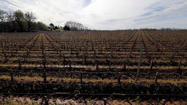 Weinreben in Bordeaux