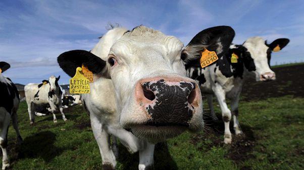 Abate de milhares de vacas na Nova Zelândia