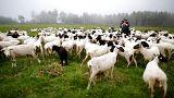 Schafe auf einer Weide