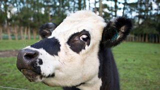 جشن ییلاق گاوهای فرانسوی