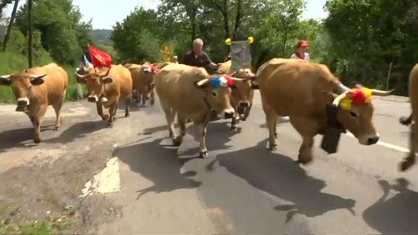 """موسم استجمام سنوي جنوب فرنسا لـ """"قطيع الأبقار""""!"""